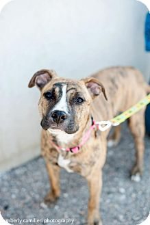 Shepherd (Unknown Type)/American Staffordshire Terrier Mix Puppy for adoption in Detroit, Michigan - Morgan-Adopted!