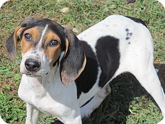 English (Redtick) Coonhound/Hound (Unknown Type) Mix Puppy for adoption in Staunton, Virginia - JP Shay