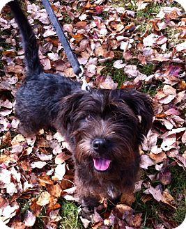 Scottie, Scottish Terrier/Schnauzer (Standard) Mix Puppy for adoption in Brattleboro, Vermont - Scottie