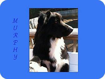 Border Collie/Border Collie Mix Dog for adoption in Dallas, North Carolina - MURPHY