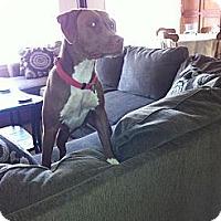Adopt A Pet :: Shelby,the family dog - Sacramento, CA