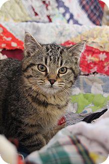 Domestic Shorthair Kitten for adoption in Nashville, Tennessee - Jenna