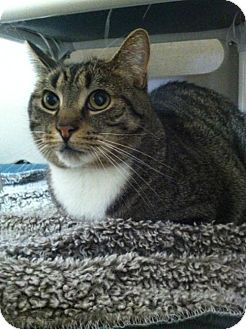Domestic Shorthair Cat for adoption in Frankenmuth, Michigan - Bertie