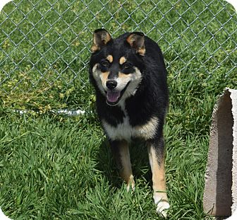Siberian Husky/German Shepherd Dog Mix Dog for adoption in Moosup, Connecticut - HALLIE