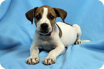 American Pit Bull Terrier Mix Puppy for adoption in Westminster, Colorado - Arabesque