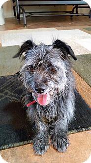 Terrier (Unknown Type, Small) Mix Dog for adoption in Tucson, Arizona - Savory