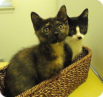 Domestic Shorthair Kitten for adoption in Troy, Michigan - Rita