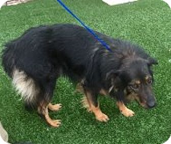 Collie/Shepherd (Unknown Type) Mix Dog for adoption in Las Vegas, Nevada - Murphy
