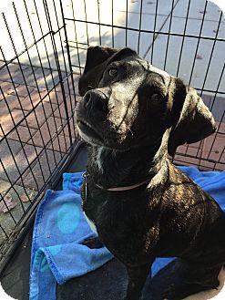 Mountain Cur Mix Dog for adoption in Manassas, Virginia - Sadie