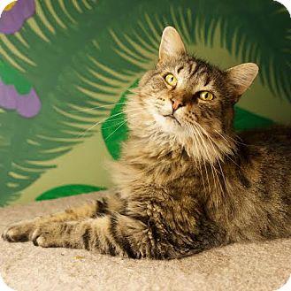 Domestic Mediumhair Cat for adoption in Columbia, Illinois - Al Pacino