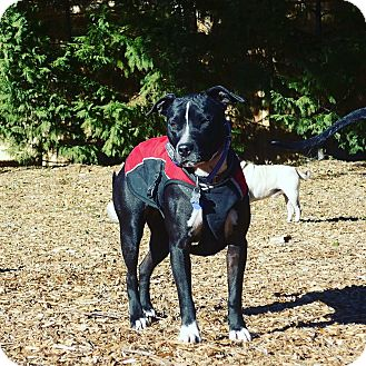 Pit Bull Terrier Mix Dog for adoption in Mission Viejo, California - LuAnne