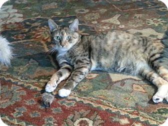 Domestic Shorthair Cat for adoption in Glen Mills, Pennsylvania - Blossom