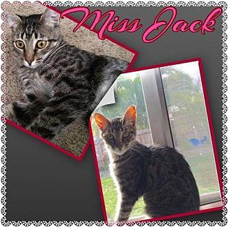 Domestic Shorthair Cat for adoption in Napa, California - Miss Jack & Miss Mustard