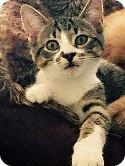 Domestic Shorthair Kitten for adoption in Burlington, North Carolina - DEMI