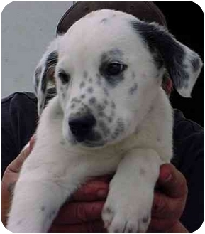 Dalmatian Mix Puppy for adoption in Freedom Township, Ohio - Spot