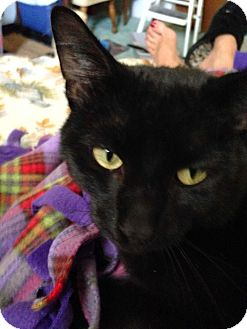 Domestic Shorthair Cat for adoption in Lombard, Illinois - Luther