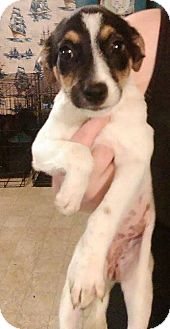 Terrier (Unknown Type, Medium) Mix Puppy for adoption in Earlville, New York - Trixie