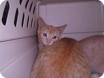 Domestic Shorthair Kitten for adoption in THORNHILL, Ontario - Huckleberry