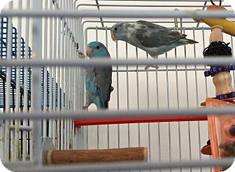 Parrotlet for adoption in Punta Gorda, Florida - No Name pair of Parrotlets