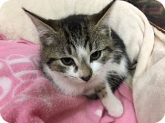 Domestic Shorthair Kitten for adoption in Medina, Ohio - Violet