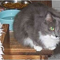 Maine Coon Cat for adoption in Simms, Texas - Marie