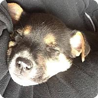 Adopt A Pet :: Kip - Las Cruces, NM