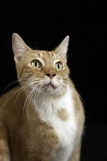 Domestic Shorthair Cat for adoption in Gainesville, Florida - Anabell