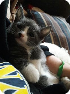Domestic Shorthair Kitten for adoption in Brooklyn, New York - Teddy