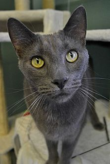 Domestic Shorthair Cat for adoption in Michigan City, Indiana - Steve