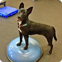 Adopt A Pet :: Simone - Indianapolis, IN
