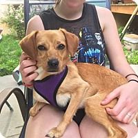 Chihuahua/Terrier (Unknown Type, Medium) Mix Dog for adoption in Rexford, New York - Sophia