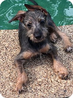Schnauzer (Miniature)/Dachshund Mix Puppy for adoption in HARRISBURG, Pennsylvania - CLIF