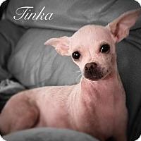 Adopt A Pet :: Tinka - Tampa, FL