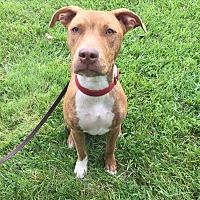 Labrador Retriever/Terrier (Unknown Type, Medium) Mix Puppy for adoption in Detroit, Michigan - Shamrock