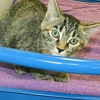 Adopt A Pet :: Tabby - Indiana, PA