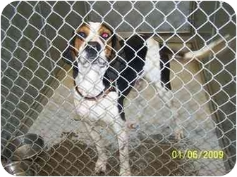 Treeing Walker Coonhound Dog for adoption in Brighton, Tennessee - Larry
