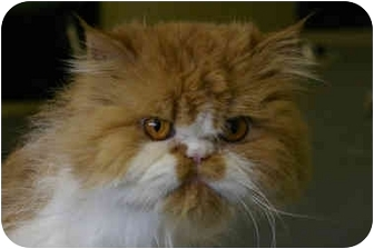 Persian Cat for adoption in Montreal and Area, Quebec - Archer