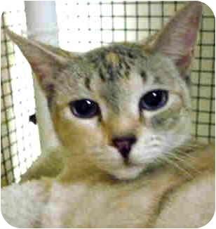 Siamese Cat for adoption in San Clemente, California - TALANI = Sweet, Sweet, Sweet!