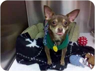 Chihuahua Mix Dog for adoption in Coppell, Texas - Brownie