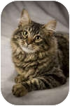Domestic Mediumhair Cat for adoption in Anchorage, Alaska - Roger