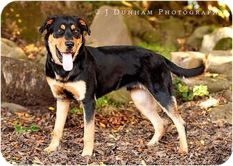 Rottweiler Dog for adoption in Tracy, California - Mac