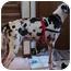 Photo 3 - Great Dane Dog for adoption in Indianapolis, Indiana - Iris