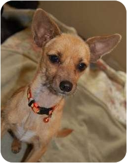 Terrier (Unknown Type, Small)/Chihuahua Mix Puppy for adoption in Seattle, Washington - Leroy