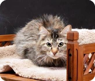 Domestic Longhair Cat for adoption in Rock Springs, Wyoming - Paisley