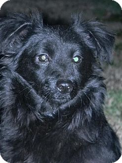 Pomeranian/Chihuahua Mix Dog for adoption in Anderson, South Carolina - Midnight