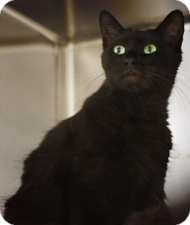Domestic Shorthair Cat for adoption in Corpus Christi, Texas - Daphne