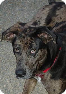 Catahoula Leopard Dog Mix Dog for adoption in Northville, Michigan - Raleigh