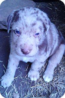 Catahoula Leopard Dog/Labrador Retriever Mix Puppy for adoption in Somers, Connecticut - Durango
