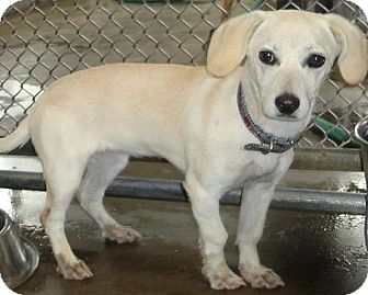 Dachshund/Chihuahua Mix Dog for adoption in Virginia Beach, Virginia - Blossom