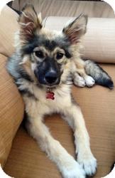 Alaskan Malamute Mix Dog for adoption in Encino, California - Kasha